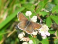 Brown Argus (sexes similar)