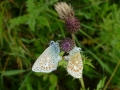 Common Blue pair showing underwings