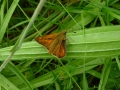 Large Skipper (sexes similar)