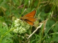 Small Skipper - note long dark scent mark on forewing