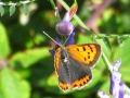 Small Copper (sexes similar)