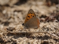 Small copper underwings