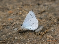 Holly Blue underwing (blue above)