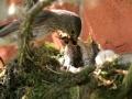 Flycatcher feeding copy