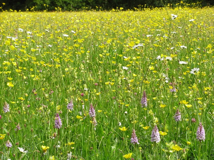 Stubbs Green meadow at its best!