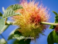 blackberry_gall_by_angelsodyssey-d7yfntj (1)-001