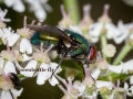 green_bottle_fly_by_angelsodyssey-d7oifx0-001