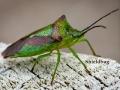 shieldbug_by_angelsodyssey-d7feair-001