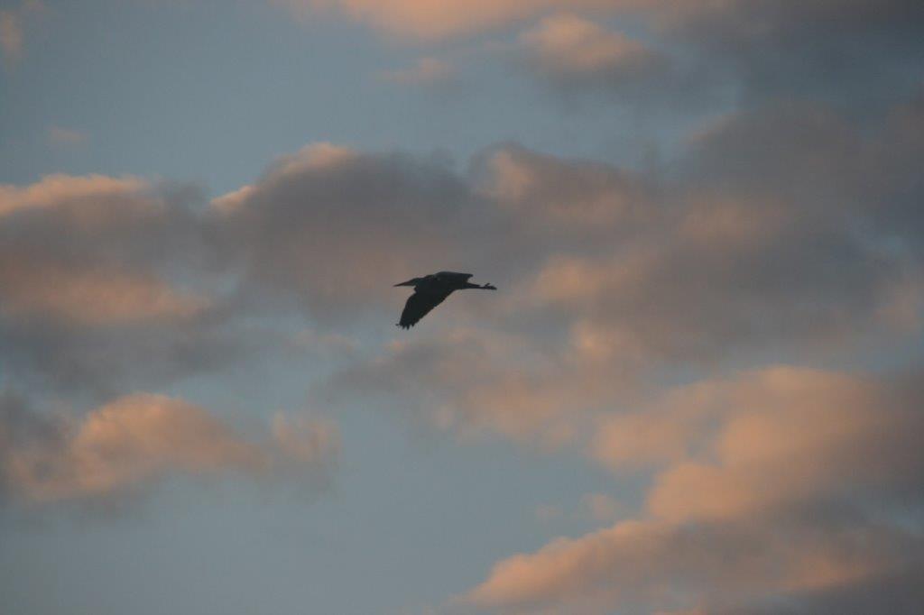 Sunset-heron-1
