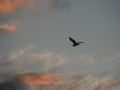 Sunset-heron-2