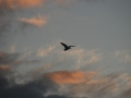 Sunset-heron-3