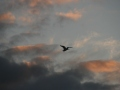Sunset-heron-4