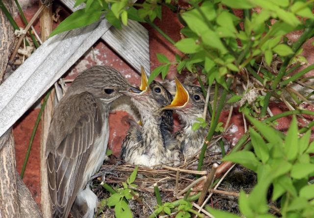 feeding-flycatchers-copy-2