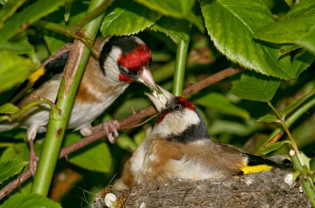 goldfinch-copy
