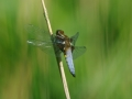 Broad-bodied chaser (male).jpeg