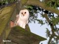 Barn Owl Outside Nest box copy