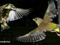 Greenfinch at war copy