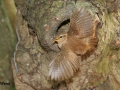 Wren Spead wings