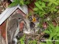feeding flycatchers copy