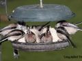 feeding long tailed tits