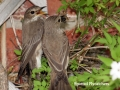 flycatchers with bug_2 copy#3AA1