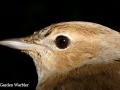 garden warbler copy