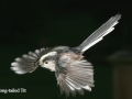 long tailed tit in fight