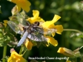 wide bodied chaser on flower